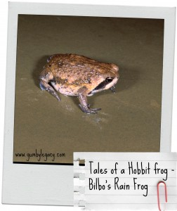 Tales of a hobbit frog - Bilbo's rain frog. Only found in SA