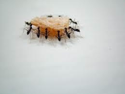 Ants just want to get the food!