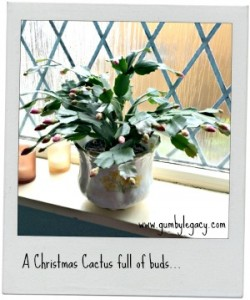 The Christmas Cactus – Schlumbergera