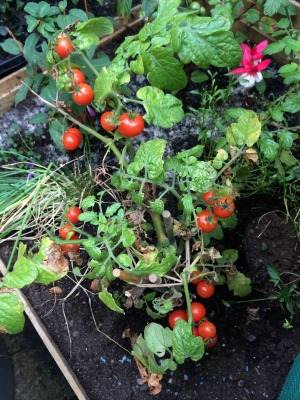 Cherry toms moved to greenhouse & growing better than ever!