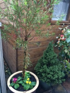 Gumby's Bottlebrush Tree under planted with primulas & spring bulbs