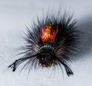 A hairy little monster caterpillar!