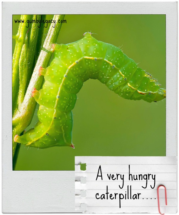 Caterpillars are very, very hungry. That's what they do all their life while they are preparing to become butterflies.