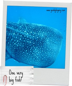 Whale Sharks – the largest shark you don't need to be scared of!