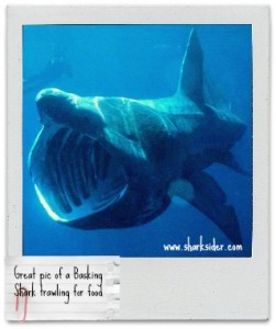 Basking Sharks & Sea Eagles..