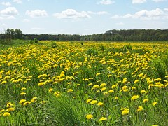 Surprising facts about dandelions. Maybe not quite the weed we thought it was.