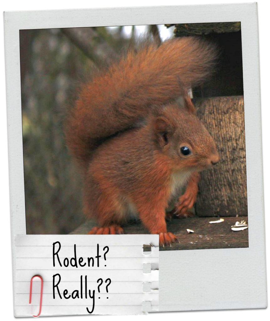 Is the red squirrel really rodent?