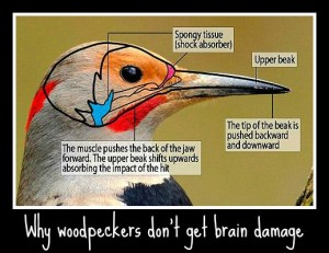 UK Woodpeckers & why they don't get brain damage