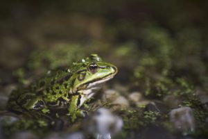 A closeup shot of a green frog sitting on moss covered pebbles